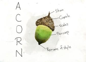 acorn_web